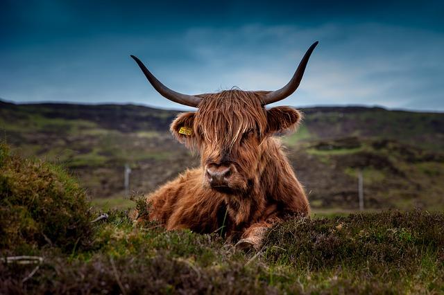 skotská kráva